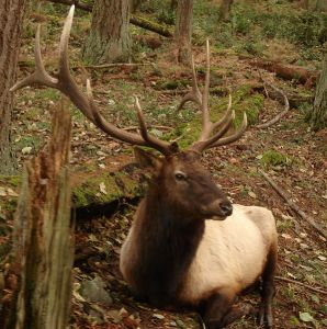 595px-roosevelt_elk_at_northwest_trek